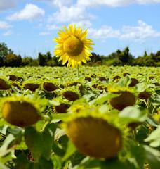 sunflower leader