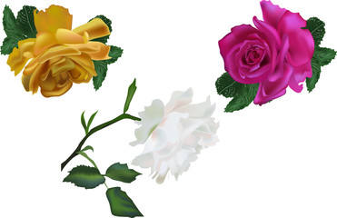three color roses on white