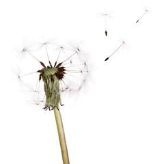 last seeds flying from on white dandelion