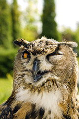 Evil eyes owl bubo bubo