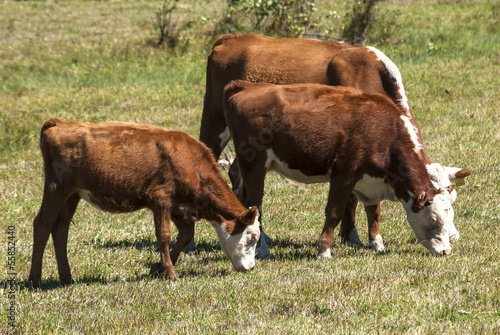 Cows on pasture on sunny autumn day