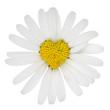 Blume Margerite als Herz Liebe