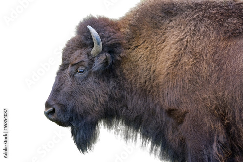 Staande foto Buffel Adult Bison Isolated on White