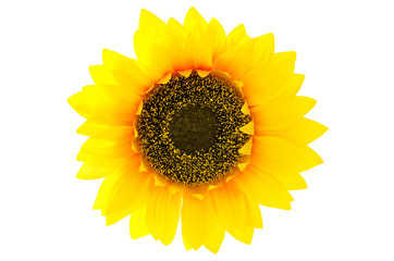 Top view of sunflower