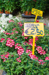 Verbena plants for sale with price tags