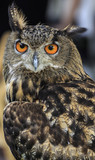 Eagle Owl/An eagle owl
