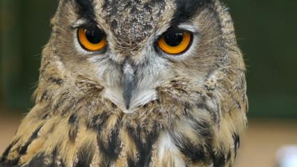 Eagle Owl - Bubo bubo.