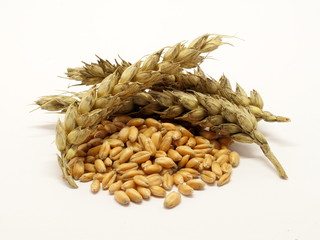 Pile of wheat grain with ears