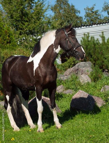 portrait of the beautiful paint draft horse