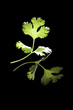 Cilantro leaf isolated.