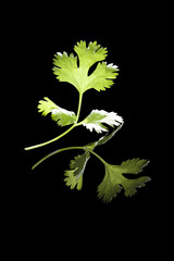 Cilantro leaf isolated.