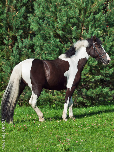 the beautiful paint draft horse