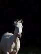 running cream rider pony at black background