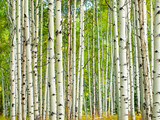 Aspen Trunks in Fall