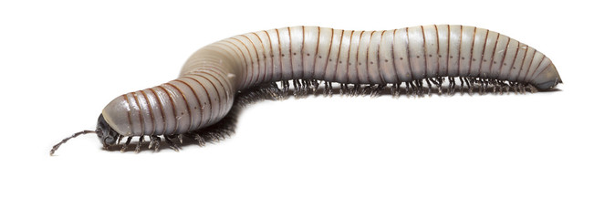 animal centipede detail isolated