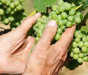 Hände mit Weintrauben
