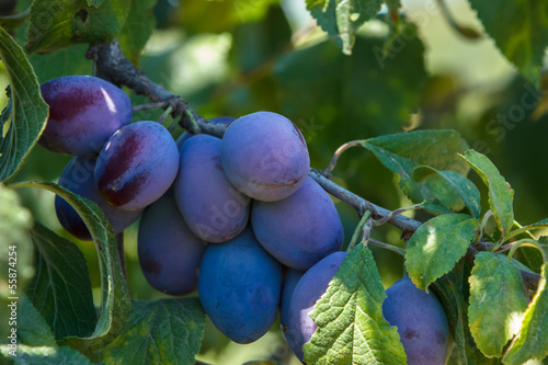Plums on branch. Organic Ripe Plums Growing in orchard
