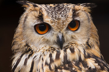 Eagle owl close up portrait