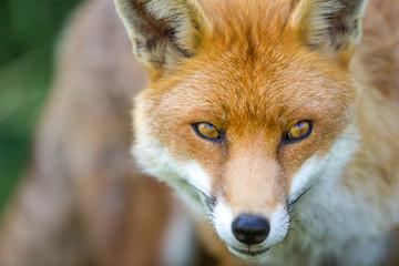 European Fox