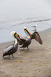 Pelicans on Ballestas Islands in Paracas.Peru.South America