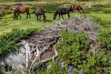 cheval sauvage, corse