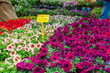 Petunia plants for sale with price tag