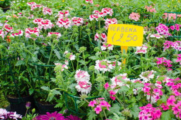 Colorful Verbena plants with price tags for sale