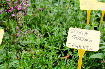 Salvia plant for sale with price tag in a local fair