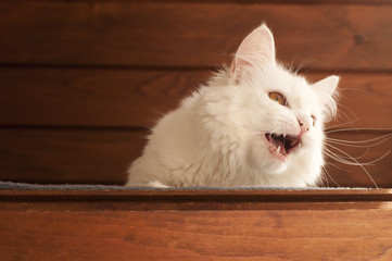 Persian cat meowing