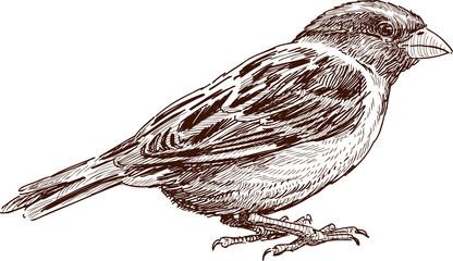 sketch of  sparrow