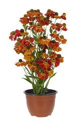 "Bush of ""Coreopsis"" flowers in pot"