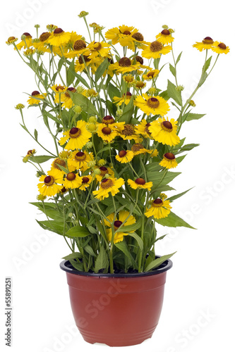 "Bush of ""Coreopsis"" flowers in pot"