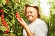 tomato harvesting