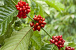 Red coffee beans ripe on the branch of coffee plant