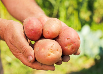 Potatoes in hands
