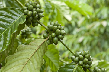 Green coffee beans on the branch of coffee plant
