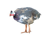 Helmeted guinea fowl meleagris in front of a white background
