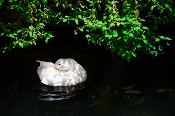 White duck in the pond