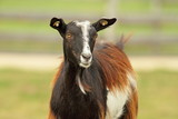colorful goat