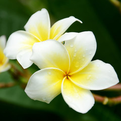 White and yellow frangipani flowers on natural background.