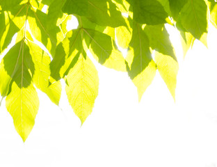 Green and yellow leaves on bright sun