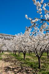 Cerezos en flor (España)