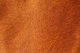 textured pelt of a brown horse poster