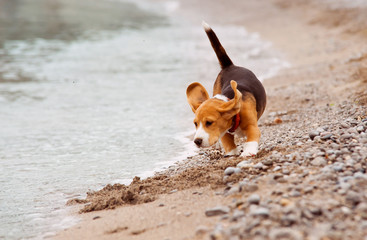 Little beagle puppy runs on the coast line