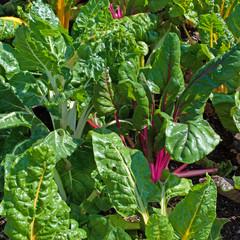 Mangold - Beta vulgaris