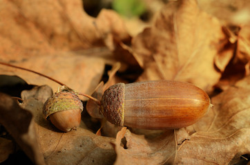 Acorns on the dead leaf in autumn