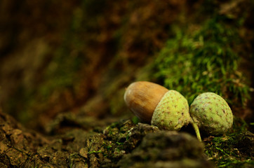 Oak acorn on mossy tree
