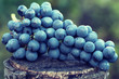 Fresh juicy grape, on wooden stump