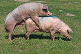 Pigs mating on farm