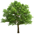 Big Oak Tree Isolated